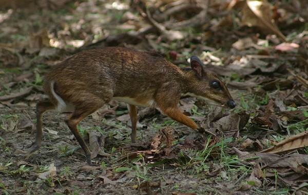 Мышь-олень-животное-Описание-особенности-образ-жизни-и-среда-обитания-4
