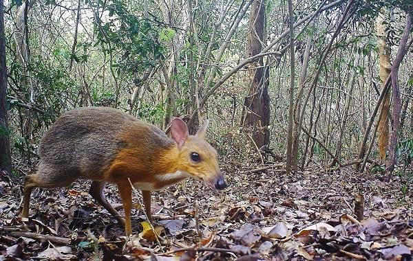 Мышь-олень-животное-Описание-особенности-образ-жизни-и-среда-обитания-5