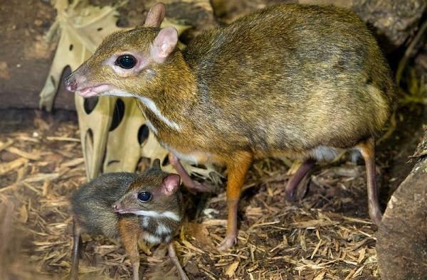 Мышь-олень-животное-Описание-особенности-образ-жизни-и-среда-обитания-6