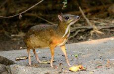Мышь-олень животное. Описание, особенности, образ жизни и среда обитания