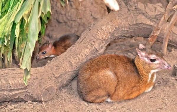 Мышь-олень-животное-Описание-особенности-образ-жизни-и-среда-обитания-8