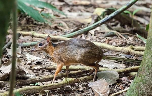 Мышь-олень-животное-Описание-особенности-образ-жизни-и-среда-обитания-9
