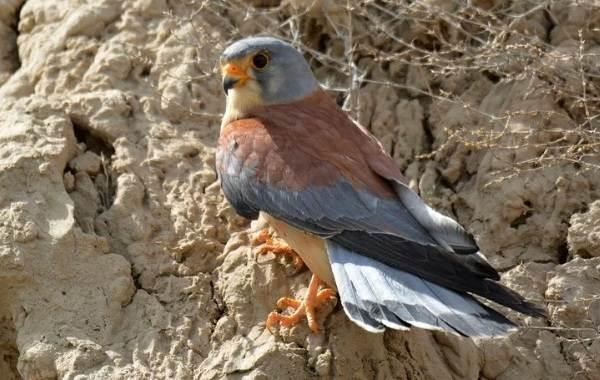 Птицы-Кубани-Описание-названия-виды-и-фото-птиц-13