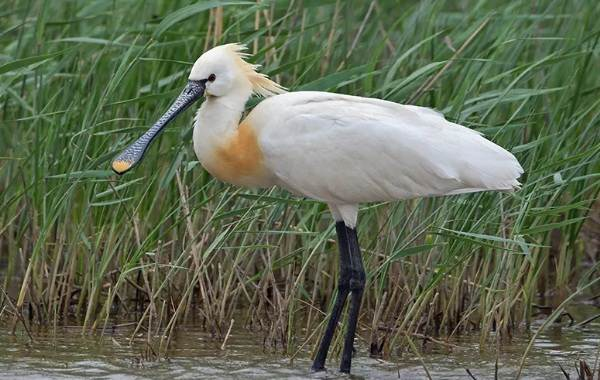 Птицы-Кубани-Описание-названия-виды-и-фото-птиц-23