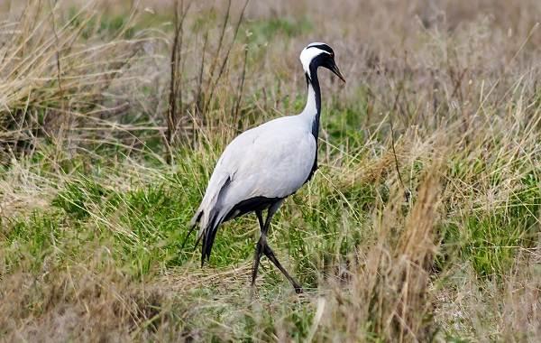 Птицы-Кубани-Описание-названия-виды-и-фото-птиц-30