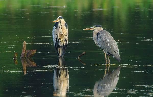 Птицы-Кубани-Описание-названия-виды-и-фото-птиц-35