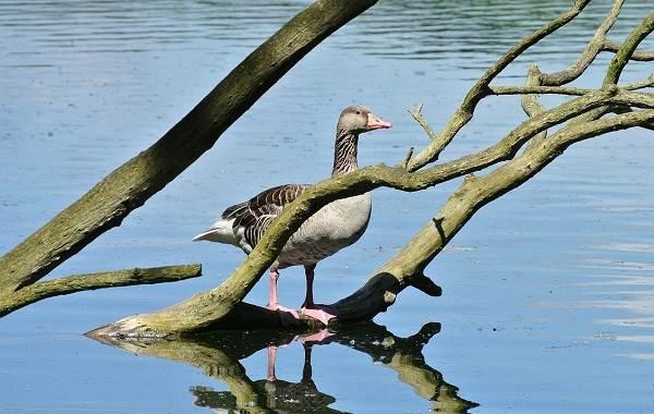 Птицы-Кубани-Описание-названия-виды-и-фото-птиц-39