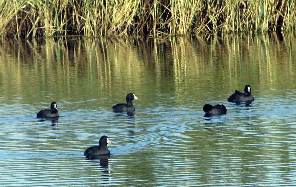Птицы-Кубани-Описание-названия-виды-и-фото-птиц-50