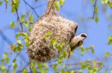 Ремез птица. Описание, особенности, образ жизни и среда обитания ремеза