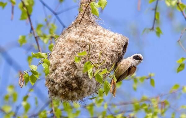 Ремез-птица-Описание-особенности-образ-жизни-и-среда-обитания-ремеза-1