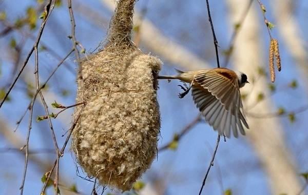 Ремез-птица-Описание-особенности-образ-жизни-и-среда-обитания-ремеза-10