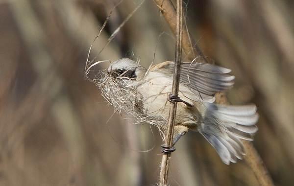 Ремез-птица-Описание-особенности-образ-жизни-и-среда-обитания-ремеза-11