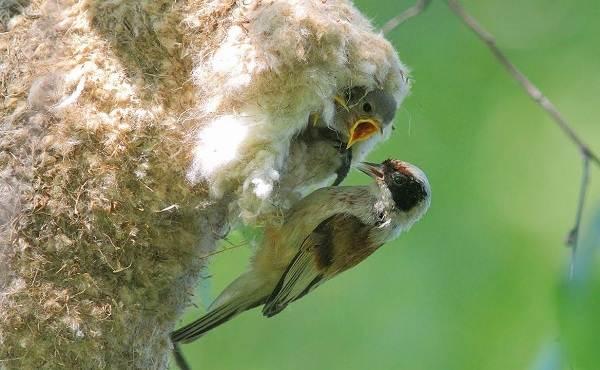 Ремез-птица-Описание-особенности-образ-жизни-и-среда-обитания-ремеза-12