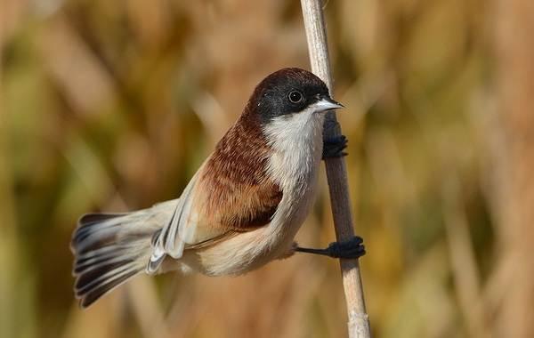 Ремез-птица-Описание-особенности-образ-жизни-и-среда-обитания-ремеза-14