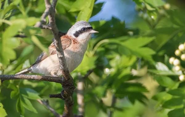 Ремез-птица-Описание-особенности-образ-жизни-и-среда-обитания-ремеза-15