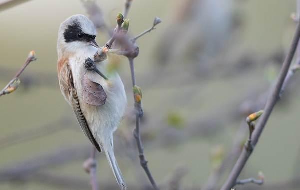 Ремез-птица-Описание-особенности-образ-жизни-и-среда-обитания-ремеза-16