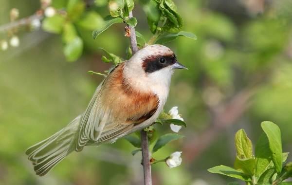 Ремез-птица-Описание-особенности-образ-жизни-и-среда-обитания-ремеза-2