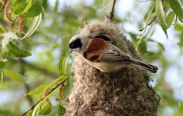 Ремез-птица-Описание-особенности-образ-жизни-и-среда-обитания-ремеза-3