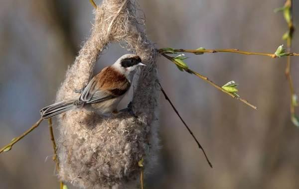 Ремез-птица-Описание-особенности-образ-жизни-и-среда-обитания-ремеза-4
