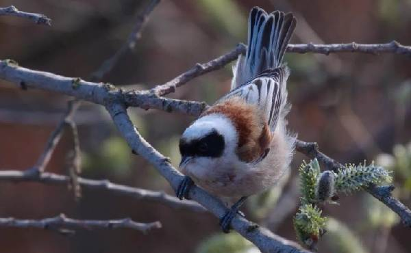 Ремез-птица-Описание-особенности-образ-жизни-и-среда-обитания-ремеза-5