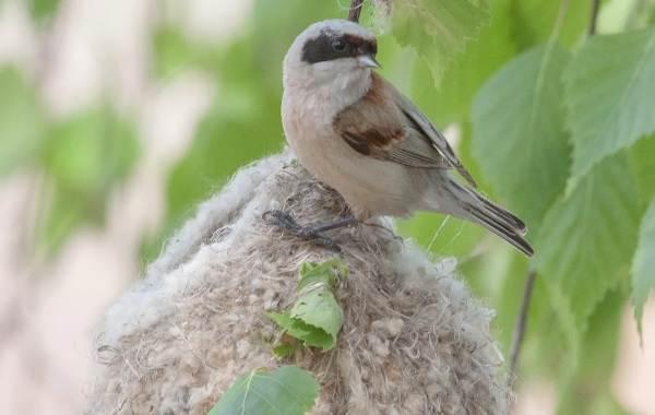 Ремез-птица-Описание-особенности-образ-жизни-и-среда-обитания-ремеза-6