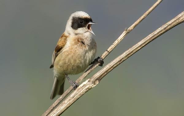 Ремез-птица-Описание-особенности-образ-жизни-и-среда-обитания-ремеза-7