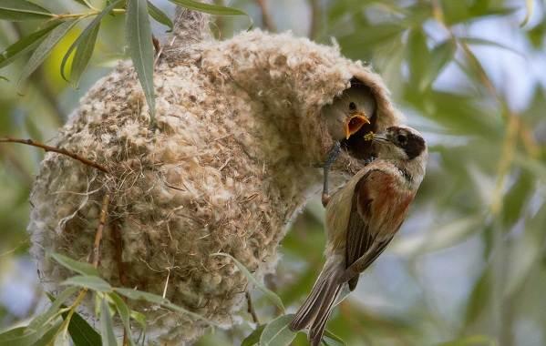 Ремез-птица-Описание-особенности-образ-жизни-и-среда-обитания-ремеза-8