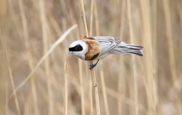 Ремез-птица-Описание-особенности-образ-жизни-и-среда-обитания-ремеза-9