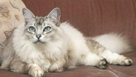 Шантильи-тиффани кошка. Описание, особенности, уход и цена породы