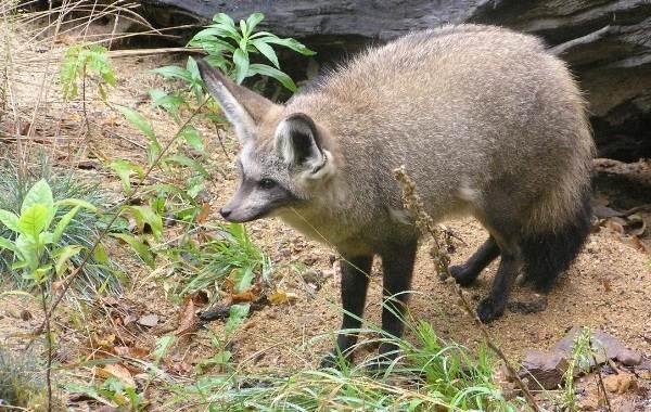 Большеухая-лисица-Описание-особенности-образ-жизни-и-среда-обитания-животного-1
