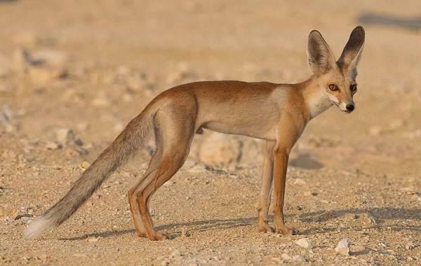 Большеухая-лисица-Описание-особенности-образ-жизни-и-среда-обитания-животного-10
