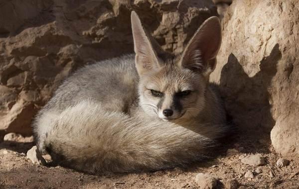 Большеухая-лисица-Описание-особенности-образ-жизни-и-среда-обитания-животного-11