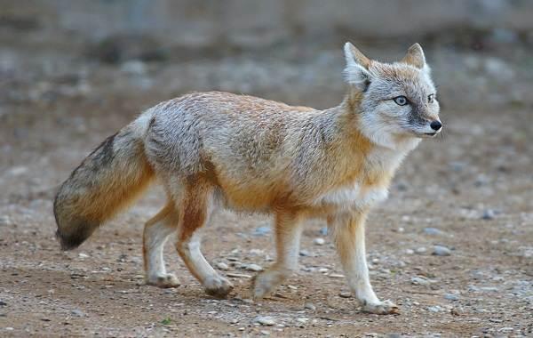 Большеухая-лисица-Описание-особенности-образ-жизни-и-среда-обитания-животного-12