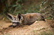 Большеухая лисица. Описание, особенности, образ жизни и среда обитания животного
