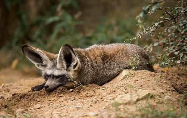 Большеухая-лисица-Описание-особенности-образ-жизни-и-среда-обитания-животного-2