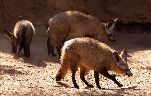 Большеухая-лисица-Описание-особенности-образ-жизни-и-среда-обитания-животного-3
