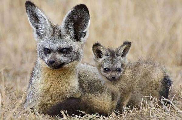 Большеухая-лисица-Описание-особенности-образ-жизни-и-среда-обитания-животного-4