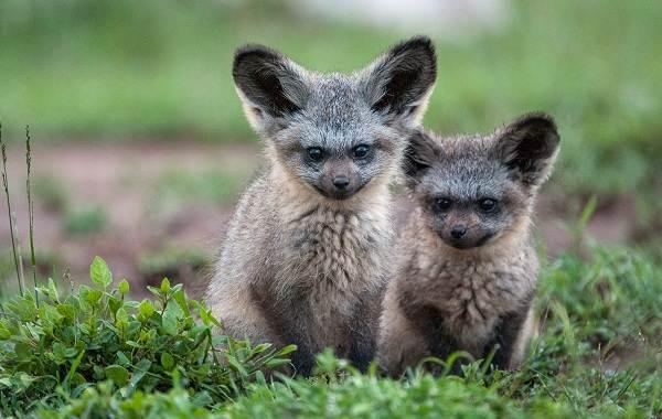 Большеухая-лисица-Описание-особенности-образ-жизни-и-среда-обитания-животного-5