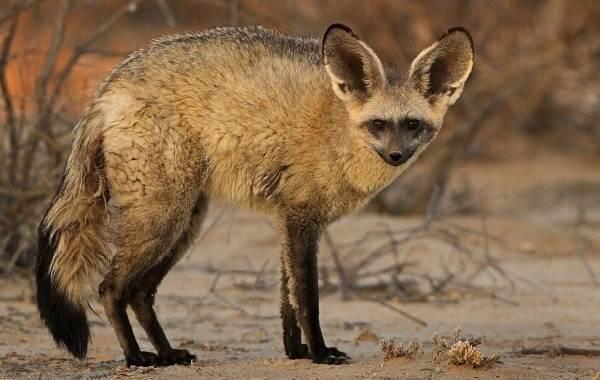 Большеухая-лисица-Описание-особенности-образ-жизни-и-среда-обитания-животного-6