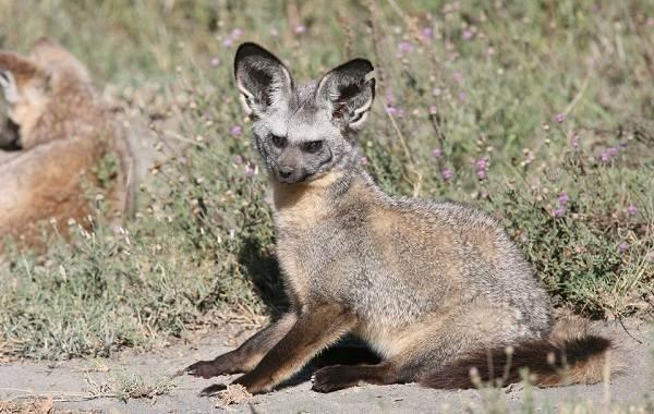 Большеухая-лисица-Описание-особенности-образ-жизни-и-среда-обитания-животного-7