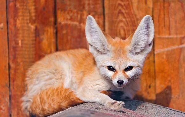 Большеухая-лисица-Описание-особенности-образ-жизни-и-среда-обитания-животного-8