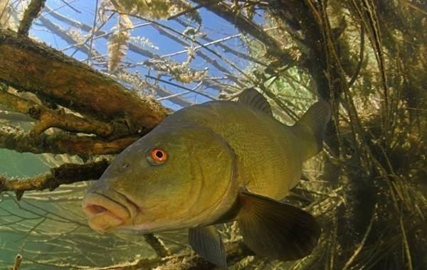 Как-поймать-линя-на-поплавочную-удочку-летом-какие-использовать-наживки-2