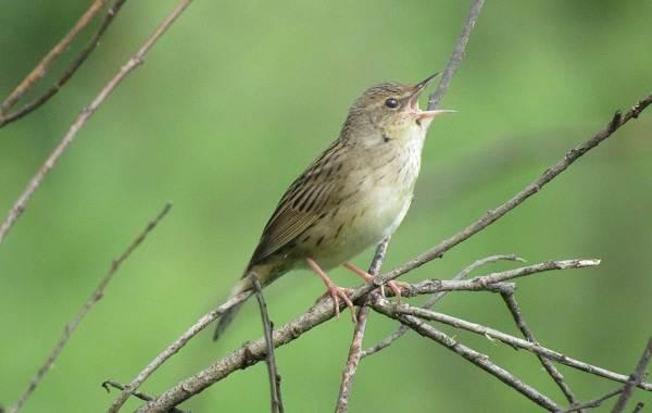 Птица-сверчок-её-особенности-образ-жизни-и-среда-обитания-1