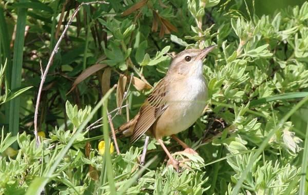 Птица-сверчок-её-особенности-образ-жизни-и-среда-обитания-10