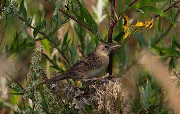 Птица-сверчок-её-особенности-образ-жизни-и-среда-обитания-11