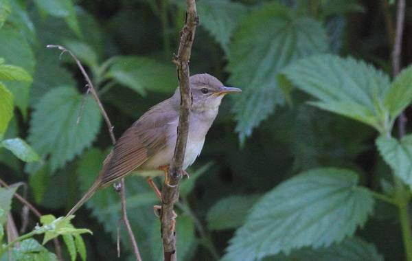 Птица-сверчок-её-особенности-образ-жизни-и-среда-обитания-12