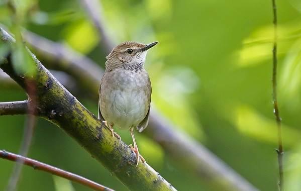 Птица-сверчок-её-особенности-образ-жизни-и-среда-обитания-13