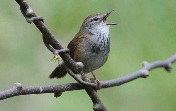 Птица-сверчок-её-особенности-образ-жизни-и-среда-обитания-14