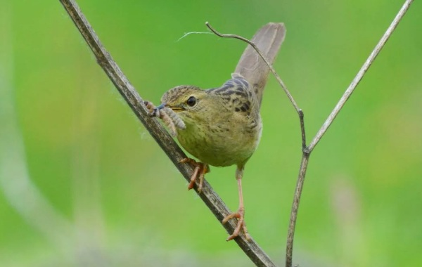 Птица-сверчок-её-особенности-образ-жизни-и-среда-обитания-15