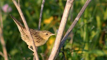 Птица сверчок, её особенности, образ жизни и среда обитания